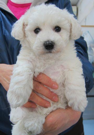 ビションフリーゼフントヒュッテ東京子犬こいぬかわいいビションフリーゼのいるお店文京区駒込ペットサロンhundehutteトリミングビションBichon Friseフランスの犬白い犬5.jpg