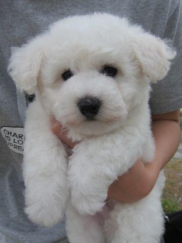 ビションフリーゼフントヒュッテ東京子犬こいぬかわいいビションフリーゼのいるお店文京区駒込ペットサロンhundehutteトリミングビションBichon Friseフランスの犬白い犬7.jpg