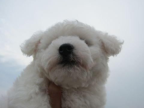 ビションフリーゼフントヒュッテ東京子犬こいぬかわいいビションフリーゼのいるお店文京区駒込ペットサロンhundehutteトリミングビションBichon Friseフランスの犬白い犬11.jpg