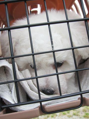 ビションフリーゼフントヒュッテ東京子犬こいぬかわいいビションフリーゼのいるお店文京区駒込ペットサロンhundehutteトリミングビションBichon Friseフランスの犬白い犬12.jpg
