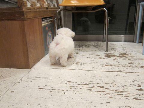 ビションフリーゼフントヒュッテ東京子犬こいぬかわいいビションフリーゼのいるお店文京区駒込ペットサロンhundehutteトリミングビションBichon Friseフランスの犬白い犬13.jpg