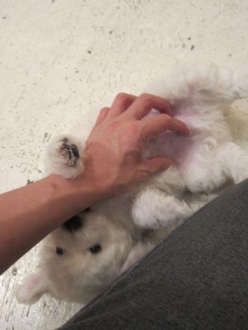 ビションフリーゼフントヒュッテ東京子犬こいぬかわいいビションフリーゼのいるお店文京区駒込ペットサロンhundehutteトリミングビションBichon Friseフランスの犬白い犬15.jpg