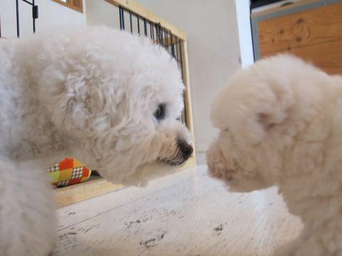 ビションフリーゼフントヒュッテ東京子犬こいぬかわいいビションフリーゼのいるお店文京区駒込ペットサロンhundehutteトリミングビションBichon Friseフランスの犬白い犬18.jpg