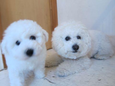 ビションフリーゼフントヒュッテ東京子犬こいぬかわいいビションフリーゼのいるお店文京区駒込ペットサロンhundehutteトリミングビションBichon Friseフランスの犬白い犬20.jpg