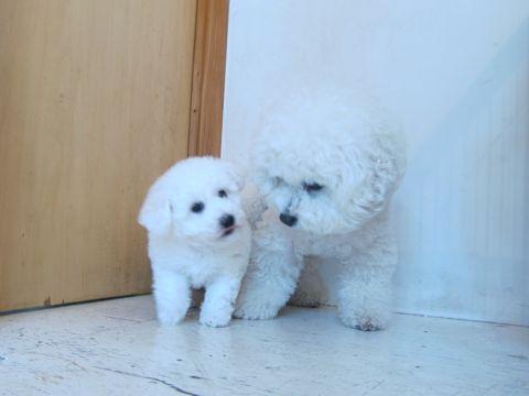 ビションフリーゼフントヒュッテ東京子犬こいぬかわいいビションフリーゼのいるお店文京区駒込ペットサロンhundehutteトリミングビションBichon Friseフランスの犬白い犬21.jpg