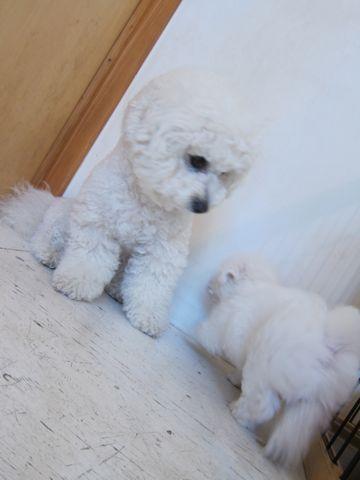 ビションフリーゼフントヒュッテ東京子犬こいぬかわいいビションフリーゼのいるお店文京区駒込ペットサロンhundehutteトリミングビションBichon Friseフランスの犬白い犬22.jpg