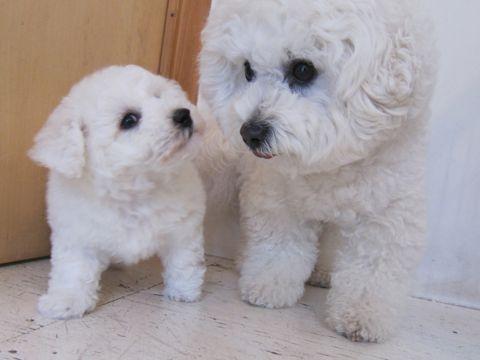 ビションフリーゼフントヒュッテ東京子犬こいぬかわいいビションフリーゼのいるお店文京区駒込ペットサロンhundehutteトリミングビションBichon Friseフランスの犬白い犬24.jpg