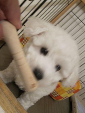 ビションフリーゼフントヒュッテ東京子犬こいぬかわいいビションフリーゼのいるお店文京区駒込ペットサロンhundehutteトリミングビションBichon Friseフランスの犬白い犬30.jpg
