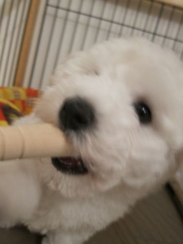 ビションフリーゼフントヒュッテ東京子犬こいぬかわいいビションフリーゼのいるお店文京区駒込ペットサロンhundehutteトリミングビションBichon Friseフランスの犬白い犬31.jpg