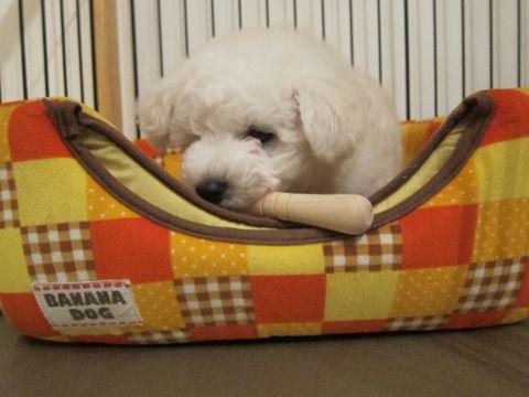 ビションフリーゼフントヒュッテ東京子犬こいぬかわいいビションフリーゼのいるお店文京区駒込ペットサロンhundehutteトリミングビションBichon Friseフランスの犬白い犬34.jpg