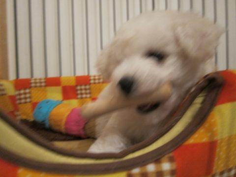 ビションフリーゼフントヒュッテ東京子犬こいぬかわいいビションフリーゼのいるお店文京区駒込ペットサロンhundehutteトリミングビションBichon Friseフランスの犬白い犬35.jpg