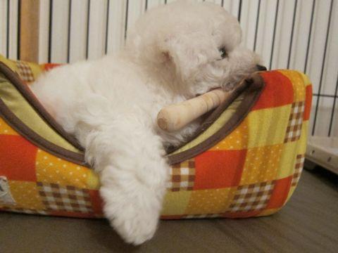 ビションフリーゼフントヒュッテ東京子犬こいぬかわいいビションフリーゼのいるお店文京区駒込ペットサロンhundehutteトリミングビションBichon Friseフランスの犬白い犬36.jpg