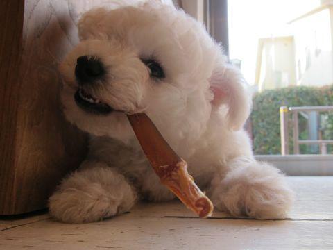 ビションフリーゼフントヒュッテ東京子犬こいぬかわいいビションフリーゼのいるお店文京区駒込ペットサロンhundehutteトリミングビションBichon Friseフランスの犬白い犬106.jpg