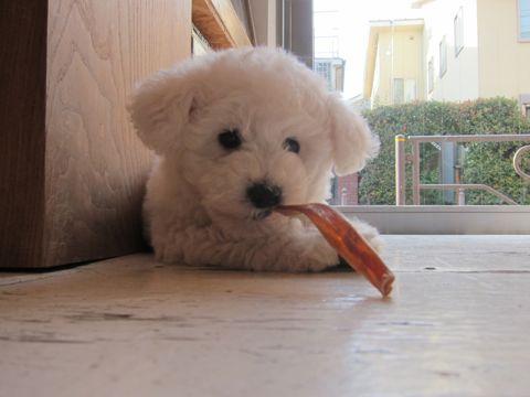 ビションフリーゼフントヒュッテ東京子犬こいぬかわいいビションフリーゼのいるお店文京区駒込ペットサロンhundehutteトリミングビションBichon Friseフランスの犬白い犬109.jpg