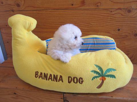 ビションフリーゼフントヒュッテ東京子犬こいぬかわいいビションフリーゼのいるお店文京区駒込ペットサロンhundehutteトリミングビションBichon Friseフランスの犬白い犬123.jpg
