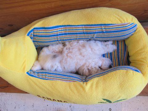 ビションフリーゼフントヒュッテ東京子犬こいぬかわいいビションフリーゼのいるお店文京区駒込ペットサロンhundehutteトリミングビションBichon Friseフランスの犬白い犬128.jpg