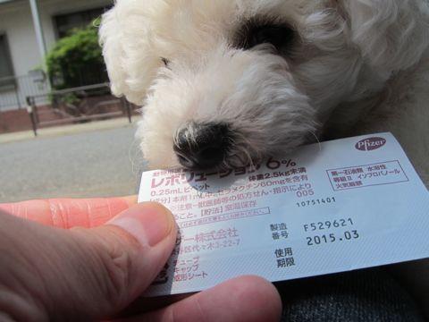 ビションフリーゼフントヒュッテ東京子犬こいぬかわいいビションフリーゼのいるお店文京区駒込ペットサロンhundehutteトリミングビションBichon Friseフランスの犬白い犬135.jpg