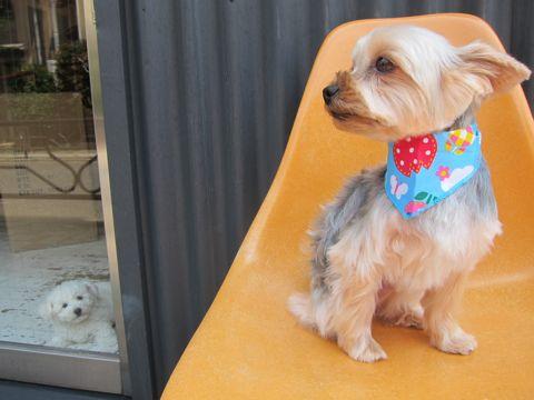 ビションフリーゼフントヒュッテ東京子犬こいぬかわいいビションフリーゼのいるお店文京区駒込ペットサロンhundehutteトリミングビションBichon Friseフランスの犬白い犬138.jpg