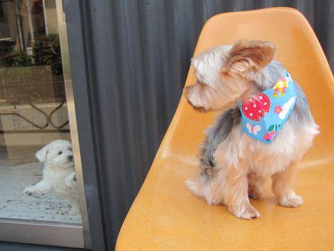ビションフリーゼフントヒュッテ東京子犬こいぬかわいいビションフリーゼのいるお店文京区駒込ペットサロンhundehutteトリミングビションBichon Friseフランスの犬白い犬139.jpg