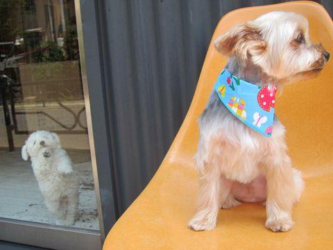 ビションフリーゼフントヒュッテ東京子犬こいぬかわいいビションフリーゼのいるお店文京区駒込ペットサロンhundehutteトリミングビションBichon Friseフランスの犬白い犬140.jpg