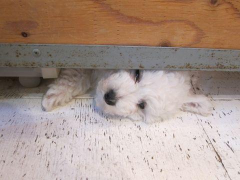 ビションフリーゼフントヒュッテ東京子犬こいぬかわいいビションフリーゼのいるお店文京区駒込ペットサロンhundehutteトリミングビションBichon Friseフランスの犬白い犬142.jpg