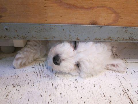 ビションフリーゼフントヒュッテ東京子犬こいぬかわいいビションフリーゼのいるお店文京区駒込ペットサロンhundehutteトリミングビションBichon Friseフランスの犬白い犬143.jpg