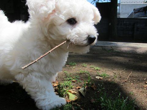 ビションフリーゼフントヒュッテ東京子犬こいぬかわいいビションフリーゼのいるお店文京区駒込ペットサロンhundehutteトリミングビションBichon Friseフランスの犬白い犬144.jpg