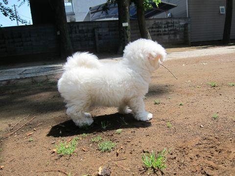 ビションフリーゼフントヒュッテ東京子犬こいぬかわいいビションフリーゼのいるお店文京区駒込ペットサロンhundehutteトリミングビションBichon Friseフランスの犬白い犬145.jpg