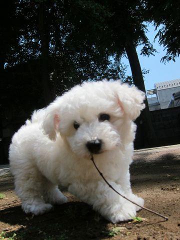 ビションフリーゼフントヒュッテ東京子犬こいぬかわいいビションフリーゼのいるお店文京区駒込ペットサロンhundehutteトリミングビションBichon Friseフランスの犬白い犬146.jpg