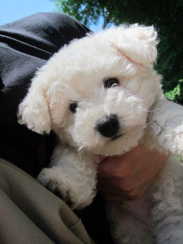 ビションフリーゼフントヒュッテ東京子犬こいぬかわいいビションフリーゼのいるお店文京区駒込ペットサロンhundehutteトリミングビションBichon Friseフランスの犬白い犬147.jpg
