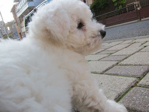ビションフリーゼフントヒュッテ東京子犬こいぬかわいいビションフリーゼのいるお店文京区駒込ペットサロンhundehutteトリミングビションBichon Friseフランスの犬白い犬148.jpg