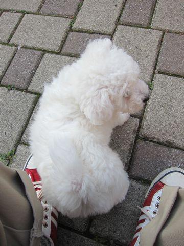 ビションフリーゼフントヒュッテ東京子犬こいぬかわいいビションフリーゼのいるお店文京区駒込ペットサロンhundehutteトリミングビションBichon Friseフランスの犬白い犬149.jpg
