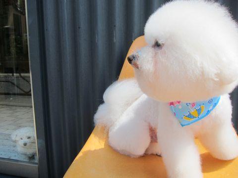 ビションフリーゼフントヒュッテ東京子犬こいぬかわいいビションフリーゼのいるお店文京区駒込ペットサロンhundehutteトリミングビションBichon Friseフランスの犬白い犬151.jpg