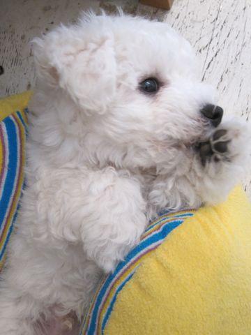ビションフリーゼフントヒュッテ東京子犬こいぬかわいいビションフリーゼのいるお店文京区駒込ペットサロンhundehutteトリミングビションBichon Friseフランスの犬白い犬162.jpg
