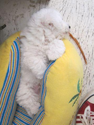 ビションフリーゼフントヒュッテ東京子犬こいぬかわいいビションフリーゼのいるお店文京区駒込ペットサロンhundehutteトリミングビションBichon Friseフランスの犬白い犬164.jpg
