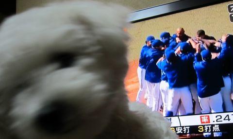 ビションフリーゼフントヒュッテ東京子犬こいぬかわいいビションフリーゼのいるお店文京区駒込ペットサロンhundehutteトリミングビションBichon Friseフランスの犬白い犬176.jpg