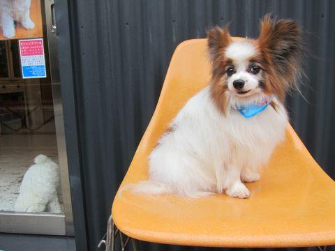 ビションフリーゼフントヒュッテ東京子犬こいぬかわいいビションフリーゼのいるお店文京区駒込ペットサロンhundehutteトリミングビションBichon Friseフランスの犬白い犬177.jpg