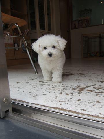 ビションフリーゼフントヒュッテ東京子犬こいぬかわいいビションフリーゼのいるお店文京区駒込ペットサロンhundehutteトリミングビションBichon Friseフランスの犬白い犬178.jpg