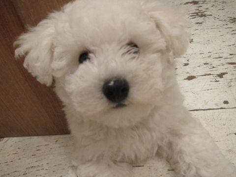 ビションフリーゼフントヒュッテ東京子犬こいぬかわいいビションフリーゼのいるお店文京区駒込ペットサロンhundehutteトリミングビションBichon Friseフランスの犬白い犬192.jpg