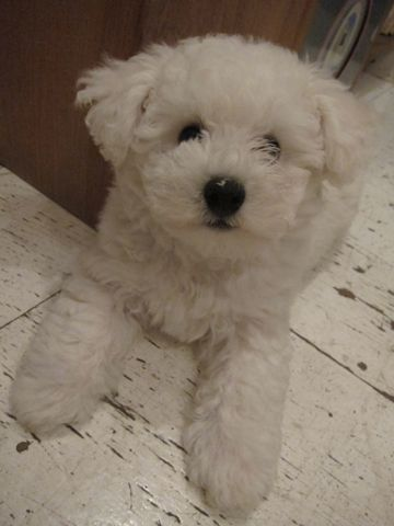 ビションフリーゼフントヒュッテ東京子犬こいぬかわいいビションフリーゼのいるお店文京区駒込ペットサロンhundehutteトリミングビションBichon Friseフランスの犬白い犬193.jpg