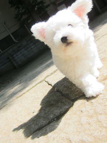ビションフリーゼフントヒュッテ東京子犬こいぬかわいいビションフリーゼのいるお店文京区駒込ペットサロンhundehutteトリミングビションBichon Friseフランスの犬白い犬194.jpg