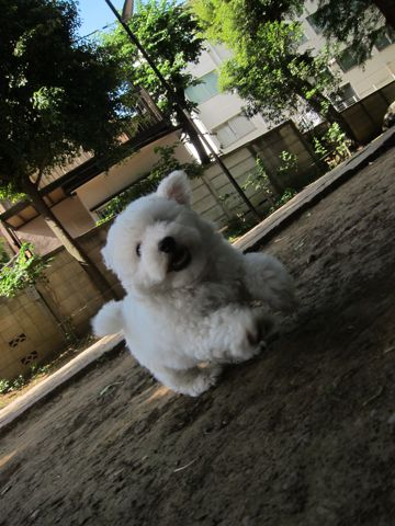 ビションフリーゼフントヒュッテ東京子犬こいぬかわいいビションフリーゼのいるお店文京区駒込ペットサロンhundehutteトリミングビションBichon Friseフランスの犬白い犬195.jpg