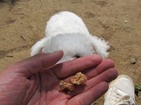 ビションフリーゼフントヒュッテ東京子犬こいぬかわいいビションフリーゼのいるお店文京区駒込ペットサロンhundehutteトリミングビションBichon Friseフランスの犬白い犬197.jpg