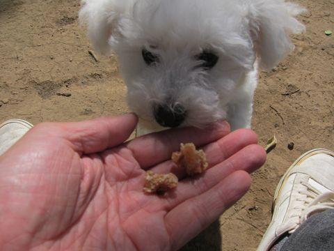 ビションフリーゼフントヒュッテ東京子犬こいぬかわいいビションフリーゼのいるお店文京区駒込ペットサロンhundehutteトリミングビションBichon Friseフランスの犬白い犬199.jpg