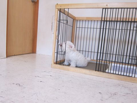 ビションフリーゼフントヒュッテ東京子犬こいぬかわいいビションフリーゼのいるお店文京区駒込ペットサロンhundehutteトリミングビションBichon Friseフランスの犬白い犬204.jpg