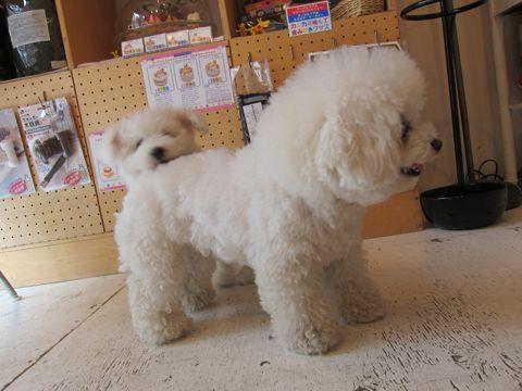 ビションフリーゼフントヒュッテ東京子犬こいぬかわいいビションフリーゼのいるお店文京区駒込ペットサロンhundehutteトリミングビションBichon Friseフランスの犬白い犬206.jpg