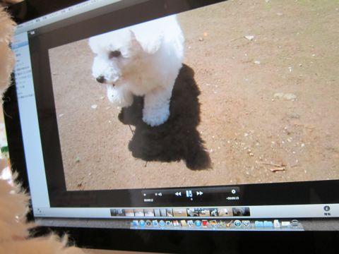 ビションフリーゼフントヒュッテ東京子犬こいぬかわいいビションフリーゼのいるお店文京区駒込ペットサロンhundehutteトリミングビションBichon Friseフランスの犬白い犬208.jpg