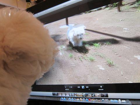ビションフリーゼフントヒュッテ東京子犬こいぬかわいいビションフリーゼのいるお店文京区駒込ペットサロンhundehutteトリミングビションBichon Friseフランスの犬白い犬209.jpg
