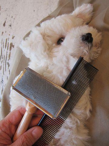 ビションフリーゼフントヒュッテ東京子犬こいぬかわいいビションフリーゼのいるお店文京区駒込ペットサロンhundehutteトリミングビションBichon Friseフランスの犬白い犬210.jpg