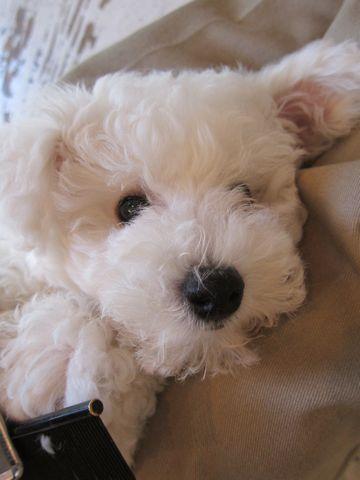 ビションフリーゼフントヒュッテ東京子犬こいぬかわいいビションフリーゼのいるお店文京区駒込ペットサロンhundehutteトリミングビションBichon Friseフランスの犬白い犬211.jpg